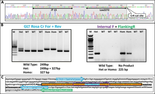 Germ line transmission and establishment of a homozygous Cr4 insertion mutation. (A) A sequencing reaction chromatogram from a founder mouse showing a correct donor-oligo insertion at the Cr4 target site. (B) The sequence confirmed mutant was bred with a wild type mouse and germ line transmission was established. Genotyping of F2 generation litter with flanking primers PCR (left) and with Internal + External primers PCR (right). The expected product sizes and the genotypes are given below the gel images. M: 100 base pair Marker. (C) Nucleotide sequence of the locus containing the correct insertion sequence. The locations of primers are shown with the corresponding color coded arrows. Cr4 sequence is underlined and PAM sequence is shown in uppercase.