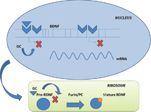 Glucocorticoids (GCs) mediated regulation of brain-derived neurotrophic factors (BDNF) transcription. GCs alter the transcription in nucleus and ribosomal translation process of BDNF and hence affect its synthesis. mRNA= micro RNA[67]