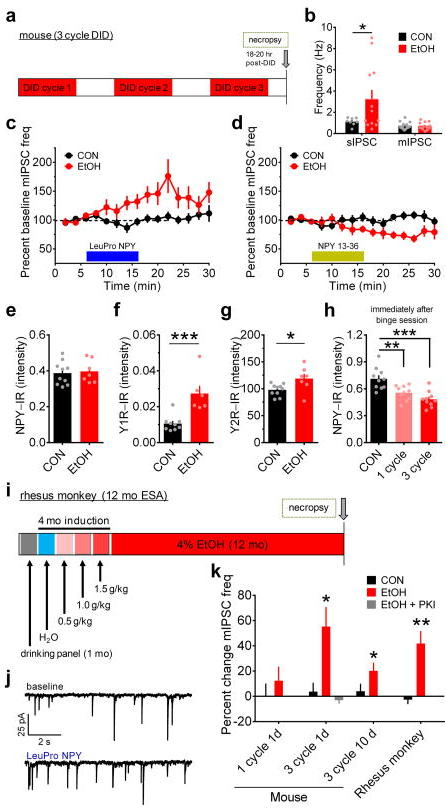 Chronic binge alcohol drinking alters receptor-specific NPY modulation of GABAergic transmission in the BNST of mice and monkeys. (a) Experimental timeline for 3-cycle DID in mice. (b) BNST neurons from mice that drank ethanol (EtOH) had higher sIPSC frequency than water-drinking controls (CONs; unpaired t-test with Welch's correction: t(11) = 2.32, *p = 0.040, CON n = 8, N = 5, EtOH n = 12, N = 5), but mIPSC frequency did not differ between groups (unpaired t-test: p > 0.95; CON n = 15, N= 7, EtOH n = 12, N = 6). (c) LeuPro NPY (300 nM) significantly increased mIPSC frequency in EtOH mice (paired t-test baseline vs. washout: t(5) = 3.58, p = 0.016; n = 6, N = 6) but not CONs (p > 0.60, n = 7, N = 7). (d) NPY 13–36 (300 nM) decreased mIPSC frequency in ethanol-drinking mice (t(5) = 2.97, p = 0.031; n = 6, N = 5) but not controls (p > 0.85, n = 7, N = 6). (e–g) Mean NPY-IR (average IR from 3–5 slices per mouse) was similar between groups (e; unpaired t-test: p > 0.75; CON N = 10, EtOH N = 7), but Y1R–IR (f; t(13) = 4.23, ***p = 0.001; CON N = 9, EtOH N = 6) and Y2R-IR (g; t(15) = 2.50, *p = 0.025; CON N = 10, EtOH N = 7) were higher in the BNST of EtOH mice than CONs. (h) NPY-IR was significantly decreased in the BNST of EtOH mice compared to water-drinking CONs immediately after the last binge ethanol drinking exposure in 1-cycle and 3-cycle DID (N's = 10/group), but was not different between one and 3-cycle DID (one-way ANOVA: F(2,27) = 14.25, p < 0.0001; post-hoc Sidak's multiple comparisons test: CON vs. 1-cycle: t(18) = 3.58,** p = 0.004; CON vs. 3-cycle DID: t(18) = 5.22, ***p < 0.001; 1-cycle DID vs. 3-cycle DID: p > 0.25), suggesting that NPY was similarly recruited acutely during each binge ethanol session across each cycle. (i) Experimental timeline for voluntary ethanol self-administration (ESA; access to 4% ethanol for 22 h/d, 7 d/wk for 12 mo) in adult male rhesus monkeys. (j) Representative traces of mIPSCs from ethanol self-administering rhesus monkey BNST neurons before and after bath application of LeuPro NPY (300 nM). (k) mIPSC frequency was unaltered by LeuPro NPY following one cycle of DID in EtOH mice (n = 8, N = 4) and water-drinking CONs (n = 5, N = 3; paired t-tests baseline vs. washout: p's > 0.30), but it was increased in EtOH, but not CON, mice 1 d after the final binge session of 3-cycle EtOH DID, as shown in c, which could be blocked by intracellular inclusion of PKI (20 μM; p > 0.35; n = 3, N = 2). The adaptation in LeuPro NPY modulation of mIPSC frequency was still present 10 d after the final binge ethanol session in EtOH mice (t(5) = 3.09, *p = 0.027; n = 6, N = 3) but not CONs (p > 0.50, n = 5, N = 3) and was also observed in rhesus monkeys after 12 mo of continuous access to ethanol (t(8) = 4.21, **p = 0.003; n = 9, N = 5) but not control solution (p > 0.50; n = 4, N = 3). All data in b–h and k are presented as mean ± SEM.