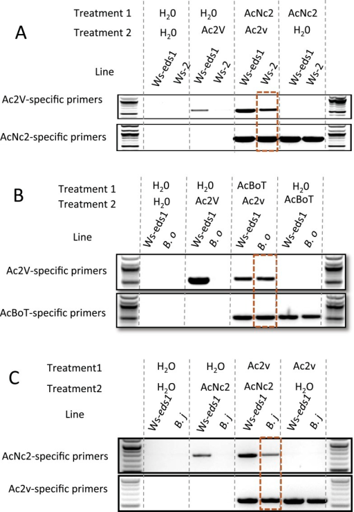 PCR with race-specific markers on DNA prepared from plant tissue generated from co-infection assays.(A) Co-infection assay of AcNc2 followed by Ac2V onto Ws-eds1 and Ws-2. (B) Co-infection of AcBoT followed by Ac2V onto Ws-eds1 and B. oleracea (B.o). (C) Co-infection of Ac2V followed by AcNc2 onto Ws-eds1 and B. juncea (B.j). Bands highlighted in orange indicate amplification of secondary inoculum on usually non-host plants upon primary inoculation with virulent A. candida. These experiments were repeated multiple times with similar results (see Supplementary file 6).DOI:http://dx.doi.org/10.7554/eLife.04550.011