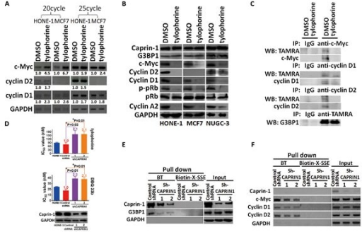 The effect of tylophorine through caprin-1 on c-Myc, cyclin D1, and cyclin D2 expression in carcinoma cellsA. Semi-quantitative RT-PCR analyses of the effect of tylophorine on the mRNA levels of c-Myc, cyclin D1, and cyclin D2. The relative expression levels of each mRNA were normalized with their respective internal loading control GAPDH. B. Immunoblot analyses of the effects of tylophorine on protein expressions related to the caprin-1-associated RNP complex and their common downstream target pRb. The carcinoma cells were treated with tylophorine (2 μM) for 24 h prior to semi-quantitative RT-PCR or western blotting analyses with the indicated gene primer pairs or antibodies. C. Tylophorine repressed the de novo protein syntheses of c-Myc and cyclins D1/D2. TAMRA-labeled newly synthesized proteins from tylophorine treated HONE-1 cells were immunoprecipitated with specific antibody as indicated and then detected by western blotting with indicated antibody. D. Depletion of caprin-1 increased carcinoma cells' resistance to tylophorine or DBQ 33b treatments. HONE-1 cells were transfected with control shRNA or CAPRIN1 shRNA plasmids respectively, and then selected with puromycin. The resultant cells were analyzed by western blotting for validation of caprin-1 depletion before subjected to measurement of cell growth IC50 values by tylophorine or DBQ 33b. A 2-tailed unpaired Student's t test was used to evaluate the p-value between two groups. E & F. The effect of caprin-1 depletion on the association of tylophorine targeted RNP complex. Caprin-1 depleted HONE-1 lysates described in D were subjected to pull-down assays with biotinylated tylophorine or biotin-X-SSE. Immunoblot (E) and Semi-RT-qPCR analyses (F) were used to detect the protein and mRNA components in the tylophorine-associated RNP complex. The sequences of the gene primer pairs used are listed in Supplemental Table 3. BT, biotinylated tylophorine. The results shown are representative of 3 independent experiments. *, p<0.05.