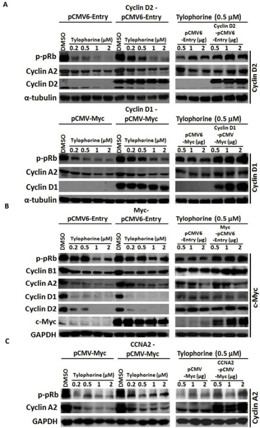 Gain-of-function experiments for tylophorine-induced decreased protein expression of cyclin D1, cyclin D2, and c-MycA. Ectopically overexpressed cyclin D1 or D2 restored the hyperphosphorylation of pRb and the expression of cyclin A2. B. Ectopically overexpressed c-Myc rescued the biological function of its downstream effectors (e.g., cyclin B1 and p-pRb) but not the protein expression of cyclin D1 and D2. C. Ectopically overexpressed cyclin A2 moderately restored the hyperphosphorylation of pRb. HONE-1 cells were transfected with the indicated expression vectors for 24 h prior to treatment with either vehicle (DMSO) or tylophorine at the indicated concentrations for an additional 24 h. The resulting cell lysates were analyzed by western blotting with the indicated antibodies. The relative expression or phosphorylation levels of each protein were normalized with their respective internal loading control α-tubulin or GAPDH. The results shown are representative of 3 independent experiments.
