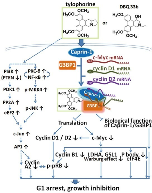 A summary scheme for tylophorine-targeted anti-cancer pathwaysThe solid lines indicate the direct targeting of tylophorine compounds to caprin-1, c-Myc, and the related pathways. The dashed lines indicate the previously published c-Jun-mediated anti-cancer mechanism of tylophorine[25] including the results shown in Supplemental Figure 2 for decreased PTEN. The elevation of c-Jun by tylophorine compounds is not affected by ectopically overexpressed c-Myc as shown in Supplemental Figure 3 indicating that the tylophorine compounds target the caprin-1 and c-Myc mRNA-containing RNP complexes in parallel with their effects on c-Jun accumulation to elicit anti-cancer activity.