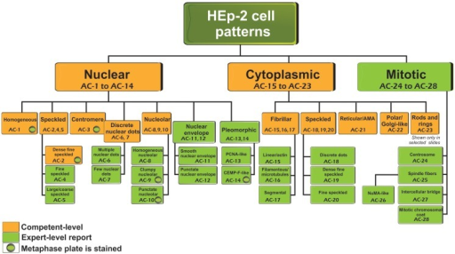 Nomenclature and classification tree for nuclear, nucleolar, cytoplasmic, and mitotic IIF staining patterns on HEp-2 cell substrates. This is a summary of the International Consensus on Antinuclear antibody Pattern (ICAP) meeting and subsequent discussion, debate, and dialog. Patterns are shown from AC-1 to AC-28. Examples of some of the major patterns are shown in Figures 2 and 3, while additional images of each are depicted in a web page linked to the ANA ICAP website (www.ANApatterns.org). Boxes with amber background are recommended as competent-level reporting, whereas those with olive green background are considered for expert-level reporting. AC, anti-cell.