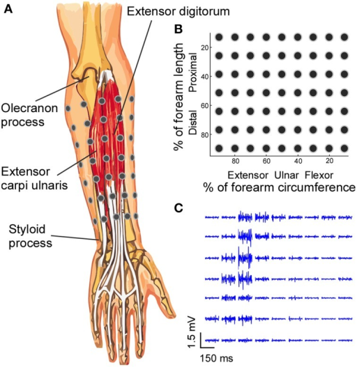 Electrode placement and EMG signals. (A) A 7 × 9 EMG electrode grid was placed over the skin of the forearm based on the anatomical landmarks of the forearm, and the absolute inter-electrode distance was not uniform. (B) The grid organization is presented in the relative forearm length and circumference dimensions. (C) The segments (150 ms) of EMG signals recorded from all electrodes during a four-finger extension task are shown.