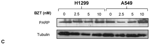(A) Expression profiles of p27 and IκBα in H1299 and A549 cells incubated with Bortezomib (BZT) at the indicated concentrations (lanes 2–4) and after 24 h of release in fresh medium (lanes 5–7). Tubulin was used as a loading control; (B) Reversible effects of Bortezomib at various concentrations (3 h incubation) on cell viability of H1299 and A549 cells (XTT assay); the analyses were performed after 24 h of release in fresh medium; (C) Expression profile of PARP (poly ADP-ribose polymerase) in H1299 (lanes 1–4) and A549 cells (lanes 5–8) incubated with BZT at the indicated concentrations. Tubulin was used as gel loading control.