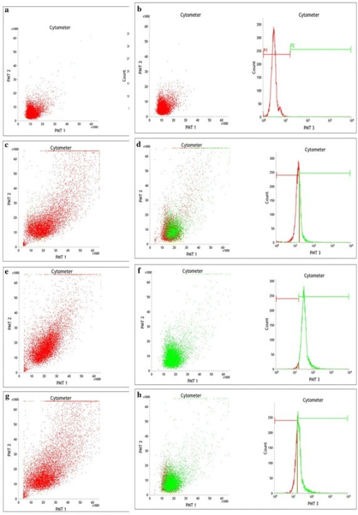 Flow cytometry in vitro phagocytosis analysis of hemocyte population in the hemolymph of Paratelphusa jacquemontii. Flow cytogram of in vitro phagocytic activity observed in 100 µl hemocyte suspension in iso-osmotic buffer (Tris 50 mM, NaCl 210 mM, KCl 5 mM, MgCl2 2.5 mM, D-glucose 100 mg, pH 7.5, 480 mOsm) with glutaraldehyde fixed rabbit erythrocyte treated with enzymes and Pjlec. Mean SD: 94.6 2.1 (n 3). Scatter gram was generated by combining forward light scatter (FS) with 7-AAD fluorescence.a Untreated rabbit erythrocyte; b FITC labeled rabbit erythrocyte; c FITC labeled rabbit erythrocyte + hemocytes (2 min); d FITC labeled rabbit erythrocyte + hemocytes (30 min); e Lectin coated FITC labeled rabbit erythrocyte + hemocytes (2 min); f Pjlec lectin coated FITC labeled rabbit erythrocyte + hemocytes (30 min). g Trypsin treated FITC labeled rabbit erythrocyte + hemocytes (2 min); h Trypsin treated FITC labeled rabbit erythrocyte + hemocytes (30 min)