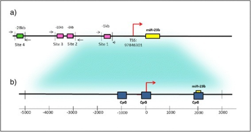 Regulatory elements for the expression of miR-23b. a The diagram shows putative p53-binding sites in the miR-23b promoter. The yellow box represents the location of miR-23b precursor, and the green box symbolizes a binding site for p53 [22]. The pink boxes indicate putative binding sites for p53 [22, 23]. b CpG islands in the promoter region of miR-23b (blue boxes). The region containing CpG islands was amplified in this study to determine the methylation status of miR-23b promoter