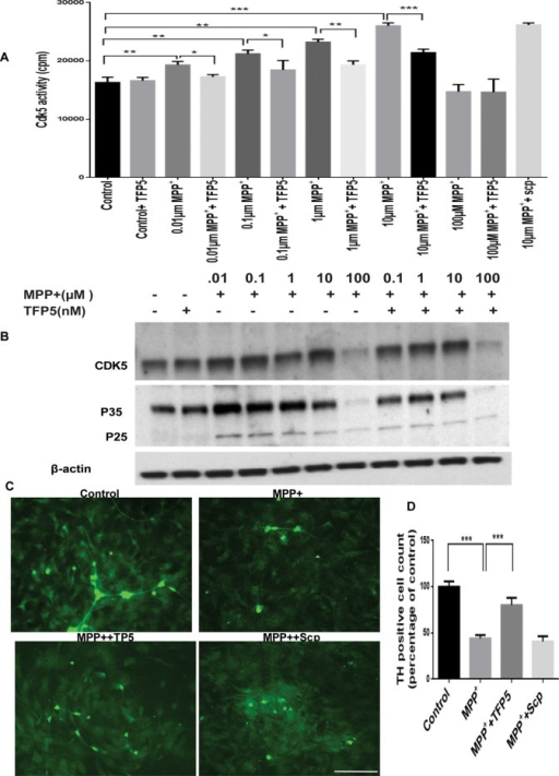 TFP5 inhibits hyperactive Cdk5/p25 in MPP+-induced mesencephalic primary cultures. A dose-dependent study. (A) Ventral mesencephalic neuronal-enriched cultures were pretreated with TFP5 (500 nM) or scrambled peptide for 12 h and then coincubated with different concentrations of MPP+ and TFP5 for 24 h. Cdk5 was immunoprecipitated from equal amounts of lysates using C-8 antibody. Immunoprecipitates were then subjected to in vitro kinase pad assays with histone H1 as substrate. Activity, as counts/minute, was quantified from three separate experiments and summarized in the bar graphs (***p < 0.001; **p < 0.01; *p < 0.05). (B) Ventral mesencephalic neuronal-enriched cultures were treated as in A, after which SDS–PAGE and Western blots were prepared with the Cdk5 and p35 antibodies. Note p25 expression in all MPP+ lanes. The results are expressed as mean ± SEM of three independent experiments (***p < 0.001). (C) Mesencephalic tissues from E14 mouse embryos were cultured and grown on polylysine-coated cover slips. Representative images. The neuronal cultures were pretreated with TFP5 (500 nM) or scrambled peptide for 12 h and then coincubated in the presence of 10 μM concentration of MPP+ and TFP5 for 24 h. The cells were fixed and stained. (D) Numbers of TH-immunoreactive (IR) neurons. Scale bar, 100 μm (C).