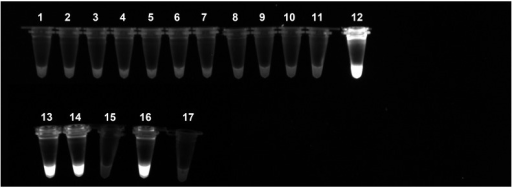 Specificity of the PI-LAMP.The micro-tubes containing the reaction mixture with propidium iodide have been exposed to UV after incubation. The positive reactions that returned an amplification product are evidenced by a bright fluorescence. The reaction have been performed by using purified DNA from larvae of 1) Acanthocheilonema reconditum; 2) Acanthocheilonema sp.; 3)Angiostrongylus vasorum; 4) Brugia sp.; 5) Cercopithifilaria sp.; 6) Dirofilaria immitis; 7) Loa; 8) Mansonella perstans; 9) Spirocerca lupi; 10) Wuchereria bancrofti; 12) and 13) Dirofilaria repens; 14) D. repens positive mosquito pool; 15) D. repens negative mosquito pool; 16) D. repens positive canine blood; 17) D. repens negative canine blood. The sample 11 is a negative sample with water instead of DNA.