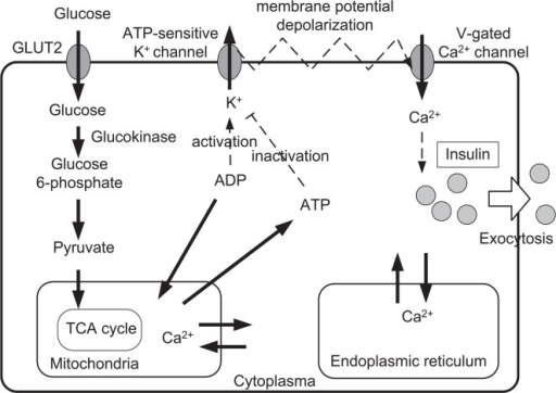 Essential processes of the insulin secretion6. Glucose is taken into the β-cell by GLUT-2 transporters, and broken down during glycolysis. Glycolytic product pyruvate is taken into the mitochondria in order to produce ATP. The ATP-sensitive K+ channel regulates membrane potential, and Ca2+ flow into the cell, and the insulin release into the blood is prompted by the elevated cytosolic Ca2+ concentration.
