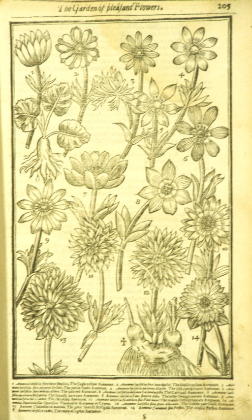 <p>Woodcut illustration of fifteen types of anemones.</p>
