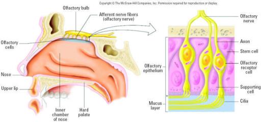 Close proximity of olfactory mucosa to olfactory bulb o ...