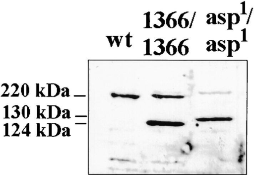 Shortened proteins are produced by the asp1 mutant  and by pMBO1366 transformants. Western blot analysis of asp  expression using the antibody Rb3133. (Lane 1) Proteins from 8  wild-type larval brains; (lane 2) proteins from 8 brains of larvae  transformed by pMBO1366; (lane 3) proteins from 12 asp1/asp1  larval brains.
