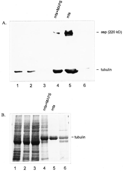 Asp copurifies with microtubules. A shows a Western  blot fractionated by 7.5% SDS-PAGE. B shows the same protein  preparations on a Coomassie blue–stained 10% SDS-PAGE. (A  and B) Microtubule purification from 0–3-h-old Drosophila embryos after Taxol-induced polymerization. Asp was detected using the Rb3133 antibody and tubulin by the Bx69 antibody. Samples are as follows: (lane 1) 20 μg of crude embryonic protein  extract; (lane 2) 20 μg of pellet after the 16,000 g centrifugation;  (lane 3) 20 μg of protein from the supernatant fraction after sucrose gradient centrifugation; (lane 4) 10 μg of the microtubules  and associated proteins; (lane 5) 5 μg of the final microtubule  preparation; (lane 6) 10 μg of the final MAP preparation.