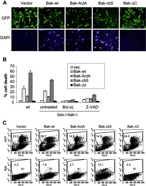 The ER-targeted Bak can induce apoptosis in the absence of endogenous Bax and Bak. Wild-type and bax−/−bak−/− MEFs were infected with retroviruses expressing GFP or GFP together with wild-type murine Bak, Bak-ActA, Bak-cb5, or Bak-ΔC. 48 h after infection, 1 μg/ml DAPI was added to stain the apoptotic cells. (A) bax−/−bak−/− cells were photographed using a FITC or DAPI filter. (B) The percentage of dead cells was determined by the ratio of DAPI-positive cells to GFP-positive cells. In addition to the retroviral infection of the Bak mutants, bax−/−bak−/− cells were also coinfected with retrovirus expressing Bcl-xL, or infected in the presence of 20 μg/ml Z-VAD-fmk. Data shown are the average of three independent experiments. (C) 24 h after infection, bax−/−bak−/− cells were trypsinized. A portion of each sample was subjected to FACS® to determine the expression efficiency indicated by GFP-positive cells. The rest of the cells were fixed in 0.25% paraformaldehyde and stained with an anti-Bak antibody that recognizes the active form of murine Bak. The number in each dot plot represents the percentage of gated events (R1).