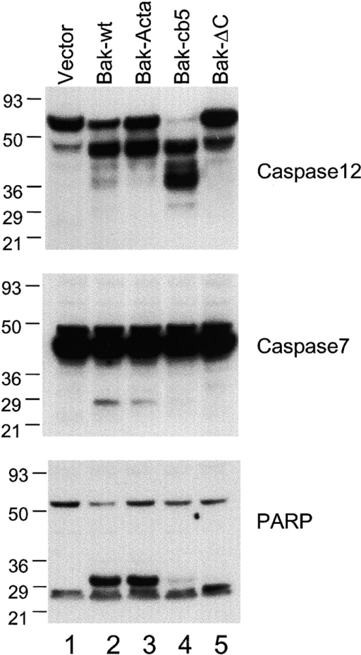 ER-targeted Bak can induce selective cleavage of caspase 12, but not of caspase 7.bax−/−bak−/− cells were infected with GFP vector control, Bak-IRES-GFP, Bak-ActA-IRES-GFP, Bak-cb5-IRES-GFP, and Bak-ΔC-IRES-GFP at a high multiplicity. After infection, cells were lysed. Caspase 12, caspase 7, or PARP were detected by immunoblotting using respective antibodies.