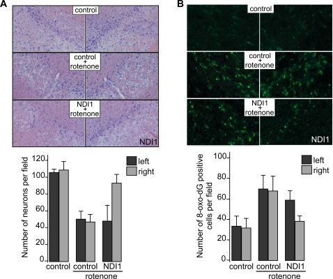 Prevention of rotenone-induced neuronal cell death and oxidative damage by expression of the Ndi1 protein.Rats were treated with the NDI1 gene and rotenone and brain sections were prepared and processed for immunohistochemical staining as described in Figure 2. A: Sections were subjected to Nissl staining and representative images are displayed (upper panel). The number of viable neurons was compared between the left and right SN by counting Nissl-positive cells in a given area of the SN (lower panel). The number of sections used for analysis was; control (2 animals, 3 sections), control+rotenone (5 animals, 12 sections) and NDI1+rotenone (9 animals, 9 sections). In each group, images were collected from the sections with the matching anterior-posterior position and, when multiple sections were used in a given animal, they were separated by at least 30 µm to eliminate possible span of neuron cell bodies over multiple sections. B: Sections were stained for 8-oxo-dG to evaluate oxidative damage to DNA (upper panel). The SN neurons that are positively stained were counted (lower panel). The number of sections used for analysis was; control (2 animals, 3 sections), control+rotenone (3 animals, 5 sections) and NDI1+rotenone (3 animals, 6 sections). Selection of the sections was done as described in A. Statistic analysis was done using student T-test. Error bars represent standard deviation.