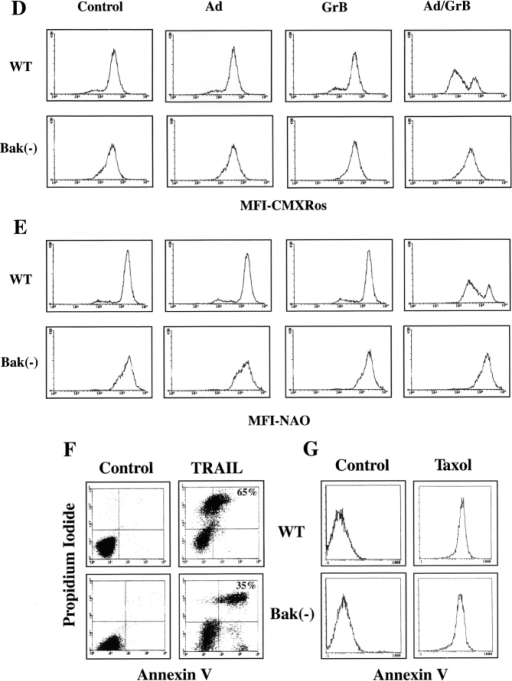 Resistance of Bak-deficient Jurkat cells to GrB-mediated apoptosis. (A) and (B) Flow cytometry analysis of staining by annexin V of Jurkat cells treated with Ad (10 PFU/ml), GrB (1 μg/ml), and a combination of GrB and Ad for 2 h (A) or 24 h (B) at 30°C. The data are means ± SD of results obtained in five independent experiments. The asterisks indicate a statistically significant difference between wild-type and Bak-deficient cells (P < 0.05, Mann-Whitney U). (C) GrB-mediated cleavage of PARP and DFF45/ICAD in wild-type, but not in Bak-deficient cells. Wild-type and Bak-deficient cells were treated with Ad, GrB, or a combination of GrB and Ad, as described previously. The cell extracts were resolved on SDS/PAGE and immunoblotted with anti-PARP mAb or anti-DFF45/ICAD Ab. (D) and (E) Lack of mitochondrial apoptotic events in Bak-deficient Jurkat cells treated with GrB. After 2 h of treatment with GrB and Ad, as described previously, the cells were assessed by flow cytometry for mitochondrial staining with CMXRos or NAO. Staining with CMXRos (100 nM) served to assess changes in mitochondria permeability transition; staining with NAO (100 nM) served to assess loss in mitochondrial cardiolipin. (F) and (G) Susceptibility of Bak-deficient Jurkat cells to TRAIL or taxol. Wild-type or Bak-deficient Jurkat cells were treated with TRAIL (100 ng/ml) or taxol (10 μg/ml) for 16 h. The cells were then analyzed by flow cytometry for staining by annexin V or propidium iodide. Percentage of apoptotic cells are indicated for TRAIL.