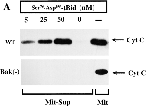 Abrogation of cytochrome c release in Bak-deficient mitochondria in response to recombinant GrB-cleaved Bid. (A) Purified mitochondria (100 μg) obtained from wild-type or Bak-deficient Jurkat cells were treated with his-tBid (Ser76-Asp195) at the indicated concentrations for 30 min at 30°C. The supernatants (Mit-Sup) were boiled in reducing Laemmli buffer, and assessed by immunoblotting for the presence of cytochrome c. Lysed mitochondria from each of the two cell lines tested served as positive controls. (B) Release of cytochrome c by mitochondria from either wild-type or Bak-deficient Jurkat cells is induced by recombinant Bak and inhibited by Bcl-XL. Purified mitochondria from wild-type, Bak-deficient, and Neo- or Bcl-XL–transduced cells were incubated with GST-BakΔC at the indicated concentrations for 30 min at 30°C. The presence of cytochrome c in the supernatants was assessed as described previously.