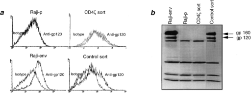 Death of CD4ζ-transplanted mice after Raji-env infusion is associated with a loss of gp120 expression in vivo. (a) Flow cytometric analysis.  Raji-env cells sorted from the bone marrow of a CD4ζ-transplanted (CD4ζ sort) and a control mouse (control sort), as well as Raji-p and Raji-env cells  maintained in liquid culture, were incubated with mouse anti-gp120 mAb to detect surface expression of HIV-env or the isotype-negative control, followed by incubation with goat anti–mouse biotin F(ab′)2 and APC (Molecular Probes). (b) Immunoblot analysis. Sorted Raji-env cells (CD4ζ sort and  control sort) and cultured Raji-p and Raji-env cells were lysed and subjected to SDS-PAGE, followed by immunoblotting with anti-gp120 mAb to detect  the presence of the env protein.