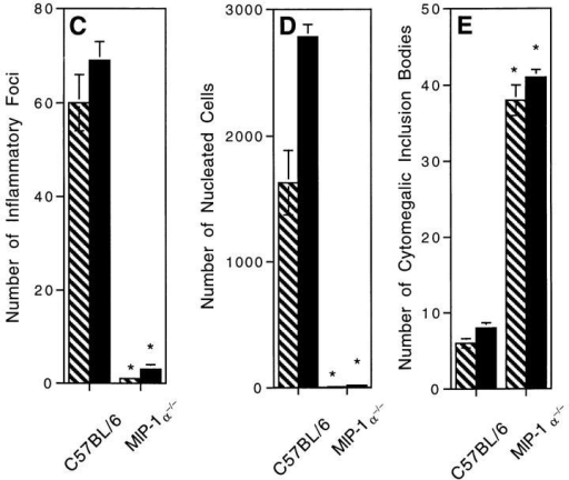 Absence of liver inflammatory foci and decreased antiviral  states in MCMV-infected MIP-1α–deficient mice. Liver samples were  prepared from control C57BL/6 and C57BL/6–MIP-1α−/− day 2  MCMV-infected mice. Organs were harvested, and segments were either  fixed for paraffin embedding, sectioning, and H&E staining, or frozen and  then homogenized for viral titers in plaque assays as described in Materials  and Methods. A and B show morphology of H&E-stained sections isolated from (A) C57BL/6 and (B) C57BL/6-MIP-1α−/− mice. Both A  and B present areas encompassing a central vein (cv, central vein, given in  A for orientation). Large arrow in A denotes inflammatory foci shown in  inset. Large arrow in B denotes cluster of cytomegalic inclusion bodies  shown in inset, and small arrows point to other clusters of intranuclear inclusion bodies radiating from the central vein. Photographs were taken at  ×31.25. Inset photographs were taken at ×125. Bar, 100 μm. C gives inflammatory foci, D gives total numbers of nucleated cells, and E presents  frequencies of cytomegalic inclusion bodies per defined area of 8 × 1  mm2 liver sections. C–E show mean results (± SE) from three replicate  mice with samples harvested from infected mice on day 2 in hatched bars  and on day 3 in solid bars. Differences between control C57BL/6 and  C57BL/6-MIP-1α−/− mice are significant, * P <0.0005.