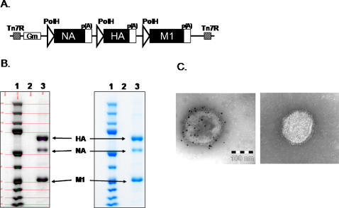 Expression of H5N1 virus-like particles.A) Baculovirus construct for expression of influenza A/Indonesia/05/2005 (H5N1) VLPs. Indicated are the polyhedrin promoters (PolH), polyadenylation signals, Tn7 regions, gentamicin resistance gene (Gm), and influenza genes (HA, hemagglutinin, M1, matrix 1 protein, NA, neuraminidase); B). Scanning densitometry analysis of purified Indo/05 VLPs. A sample of purified VLPs (4 µg) was electrophoresed on 4–12% polyacrylamide gel and stained with Coomassie blue (right panel, lane 3). A scanned image (left panel, lane 3) was used to determine the relative optical density (OD) of HA, NA, and M1. Purity is = OD HA+NA+M1/OD Total in the lane. Purity of this lot of Indo/05 VLPs was 96%. The location of HA, NA, and M1 structural proteins are marked. C). Immunogold electron microsopy of purified Indo/05 VLPs. Left Panel. Primary antibody: Influenza A H5N1 Anti-HA antibody (Biodesign). Secondary antibody: Goat anti-rabbit conjugated to 10 nm gold beads. Right Panel. Control antibody and goat anti-rabbit secondary antibody conjugated to 10 nm gold beads. Bar represents 100 nm scale.