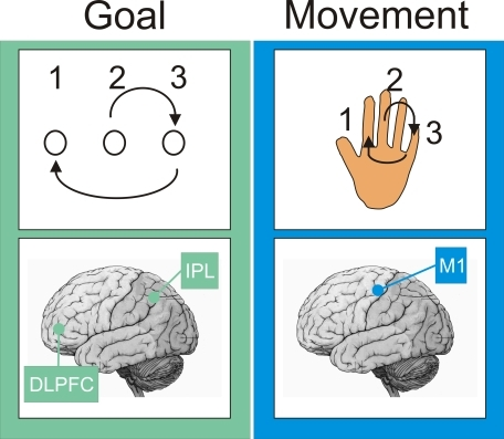 A Motor Skill Memory Has Classically Been Split into Two ComponentsOne component encodes the spatial goal of the movement, and the other encodes the movements needed to achieve that goal [84–86]. For example, the goal of playing out a sequence of spatial positions—2-3-1—can be achieved by a sequence of finger movements. The goal of a motor skill is encoded within a circuit that includes the dorsolateral prefrontal cortex (DLPFC), the inferior parietal lobule (IPL), and perhaps the mediotemporal lobe (MTL); whereas the movements associated with a skill are encoded within a circuit that includes the primary motor cortex (M1) and subcortical areas such as the striatum [12,13]. Other memories can be split into similar components. For example, navigating around a city relies upon learning the spatial location of landmarks plus learning the sequence of right-and-left turns needed to get to the landmark.