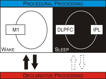 Distinct Mechanisms Are Engaged To Support the Offline Processing of Motor Skill Memories over Wakefulness and SleepOne set of mechanisms, engaged over wakefulness, is supported by a circuit that includes the M1. In contrast, over sleep, a different circuit that may include the prefrontal and parietal cortices is engaged to support motor skill consolidation. Distinct mechanisms that are differentially engaged over sleep and wakefulness may also be responsible for the consolidation of perceptual and declarative memories. Overlying this differential organization within memory systems are reciprocal interactions between memory systems. Declarative processing can block procedural consolidation, and the reciprocal relationship also occurs, with procedural processing blocking declarative consolidation. These interactions are present over wakefulness (solid arrows) but not over sleep (outline arrows).DLPFC, dorsolateral prefrontal cortex; IPL, inferior parietal lobule.