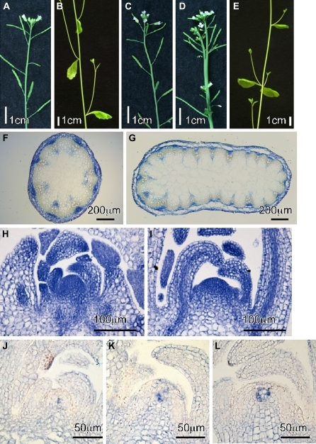 Morphological phenotypes of atbrca2 mutants. (A, B) Five-week-old wild-type plants (Nossen), (C, D, E) atbrca2a-1/atbrca2b-1 double mutant plants. (F, G) Cross-sections of stems from 5-week-old plants: wild type (Nossen) (F) and atbrca2a-1/atbrca2b-1 double mutant (G). (H, I) Longitudinal-sections of 2-week-old plants: wild type (Nossen) (H) and atbrca2a-1/atbrca2b-1 double mutant plants (I). (J, K, L) In situ hybridization analysis of the AtWUS gene in wild-type (Nossen) (J) and atbrca2a-1/atbrca2b-1 double mutant (K, L) plants.