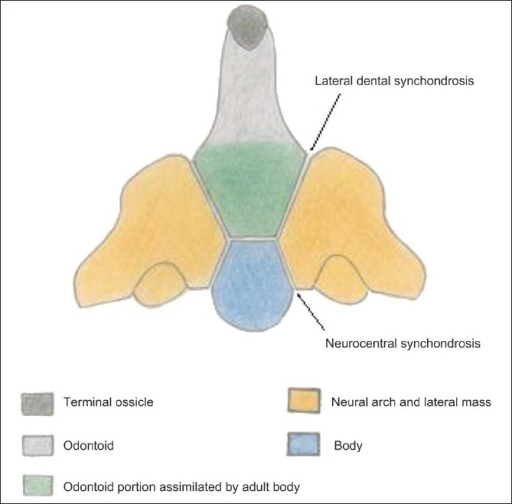 Line diagram of the C2 vertebra with its ossification c | Open-i