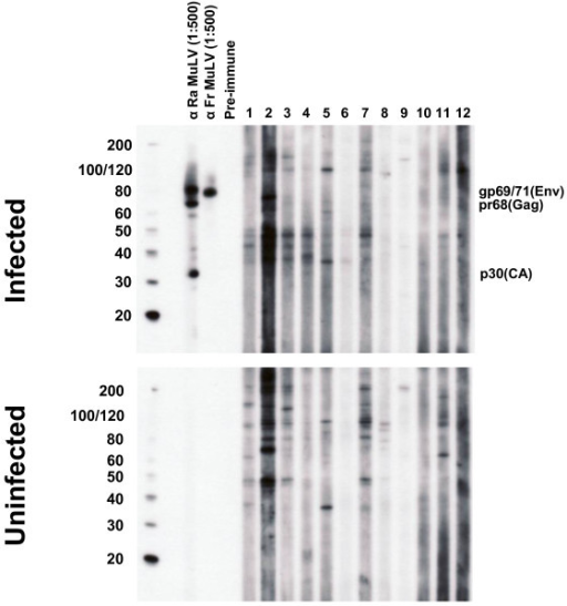 Absence of XMRV antibodies in CFS patients by Western blot (WB) analysis. Representative WB results for CFS cases from Wichita and Georgia identified after unblinding. Determination of MuLV specific reactivity is determined by comparison of observed seroreactivity to polytropic MuLV-infected HeLa antigens and uninfected HeLa antigens in upper and lower panels, respectively. Lanes 1 - 4 and 5 - 8 are plasma from CFS cases from the population based studies in Georgia and Wichita, respectively; lanes 9 - 12 are physician-referred CFS cases from the Georgia Registry study. MuLV positive and negative goat serum controls are labelled.