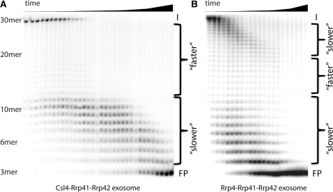 Visualization of RNase activity of the archaeal exosome on denaturing polyacrylamide gels: the input (I) is a 30-mer polyA RNA radioactively labelled at the 5′-end that is degraded from the 3′-end to a final product (FP) of a 3-mer. Time points were taken in increasing intervals [in minutes: 0:10; 0:20; 0:30; 0:40; 0:50; 1:00; 1:10; 1:20; 1:40; 2:00; 2:20; 2:40; 3:00; 3:30; 4:00; 4:30; 5:00; 5:50; 6:00; 6:30; 7:00; 7:30; 8:00; 9:00; 10:00; 12:00; 14:00; 16:00; 18:00; 20:00; 25:00; 30:00; 35:00; 40:00; (B) ends at 8:00 min]. RNA degradation does clearly not occur with constant speed and the (Csl4:Rrp41:Rrp42)3 exosome (A) degrades RNA with a different time dependency than the (Rrp4:Rrp41:Rrp42)3 exosome (B).
