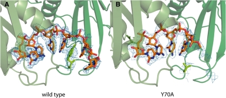 Crystal structure of 6-mer RNA bound to the active site of the archaeal exosome. Rrp41 is shown in light and Rrp42 in dark green. The 2Fo–Fc electron density is contoured at 1.0σ and only shown for the RNA and the side chain of Y70Rrp41. (A) In the wild-type exosome Y70 is stacking with the fourth base of the bound RNA, and only weak density can be seen for the fifth and sixth base. (B) Electron density for the fourth base of the RNA is much weaker in the Y70ARrp41 mutant compared to the wild-type and no density can be detected at this contour level for additional nucleotides.