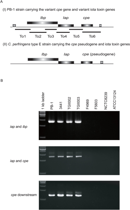 Genetic organization of the variant cpe toxin locus.A. Genetic organization of the toxin locus in pCPPB-1 versus the toxin locus in previously studied C. perfringens type E strain (JGS1987) [16]. Broad bars show ORFs. Long thin bars depict the PCR products as shown in Panel B, amplified with each primer pair (see the text). B. PCR analysis of the toxin locus in C. perfringens isolates carrying the variant cpe gene.