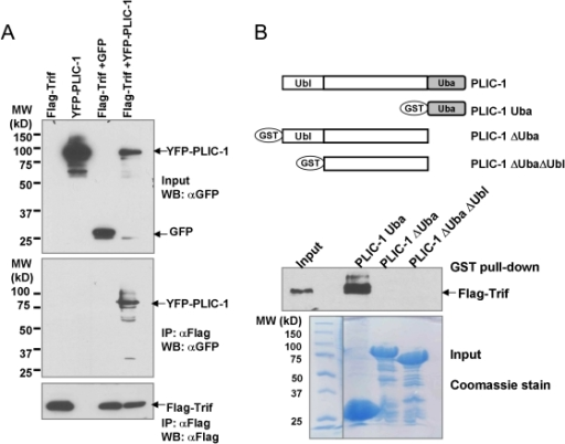 Interaction of PLIC-1 and Trif.A. 2 µg YFP-PLIC1or GFP and 2 µg Flag-Trif were cotransfected into 293T cells at 70% confluence in a 60-mm plate. 48 hours post-transfection, cell lysates were prepared and subjected to M2 anti-Flag affinity resin. After extensive wash with PBS, proteins were eluted by boiling the beads in 2× sample buffer and separated on a SDS-PAGE. Western blotting was performed using indicated antibodies. B. GST fusion proteins (around 2 µg) were mixed with cell lysates containing Flag-Trif for 2 hours and bound proteins were eluted from the GST column and analyzed for the presence of Flag-Trif. One tenth of the input protein was loaded. A Coomassie stained gel image was included showing the expression of each GST fusion protein.