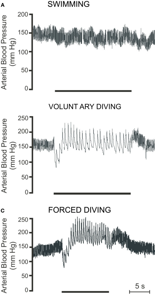 Raw traces showing pulsatile arterial blood pressure during (A) swimming, (B) voluntary diving, and (C) forced diving in rats trained to dive. Period of swimming or diving is indicated by the bar underneath the trace. Breaks in trace indicate periods where the radiotelemetric signal was lost (Modified from McCulloch et al., 2010).