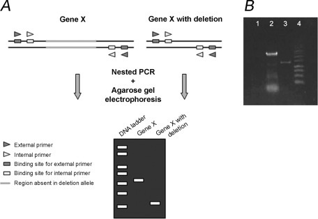 Diagram and example to illustrate nested PCR. (A) Schem | Open-i