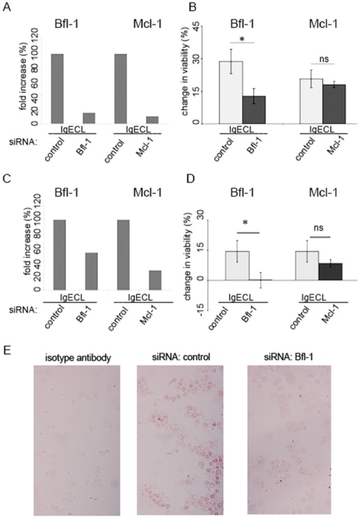 siRNA targeting BFL-1 but not MCL-1 diminishes activation-induced survival of human mast cells.(A) The upregulation of BFL-1 and MCL-1 following IgECL in CBMCs is abolished following targeted siRNA treatment as verified 30 hours post-transfection by quantative PCR. Cells were transfected with 100 nM siRNA, sensitized with 1 μg/mL of IgE and challenged with 2 μg/mL anti-IgE before expression was determined. Data correspond to one representative experiment using one donor. Similar result was obtained for another donor. (B) BFL-1 but not MCL-1 siRNA treated CBMCs show decreased survival upon IgECL compared to control siRNA treated cells. Cells were transfected, sensitized with 1 μg/mL of IgE and 24 hours post-transfection cytokine-deprived and challenged with 2 μg/mL anti-IgE before being enumerated 24 hours later using the vital dye trypan blue. N=6. (C) The upregulation of BFL-1 and MCL-1 following IgECL in LAD-2 cells is abolished following targeted siRNA treatment as described above. (D) BFL-1 but not MCL-1 siRNA treated LAD-2 cells show decreased survival upon IgECL compared to control siRNA treated cells. N=4. Change in viability is percentage viable cytokine-deprived cells deducted from viable cytokine-deprived cells following IgECL. (E) Bfl-1 is down-regulated in LAD-2 cells following siRNA treatment targeting BFL-1 as compared to control siRNA in immunohistochemical stainings for Bfl-1 expression.