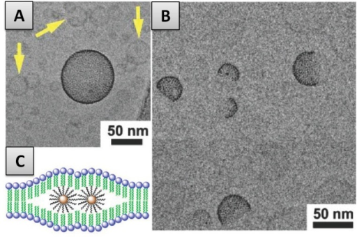 Membrane Internalization. (A)-CryoTEM image of a Vesicle-NP hybrid surrounded by normal small unilamellar vesicles (SUVs); (B)-CryoTEM image of janus vesicles; (C)-Schematic illustration of membrane-internalized hydrophobic NP clustering inside the membrane. Figure reprinted and adapted with permission from [71].