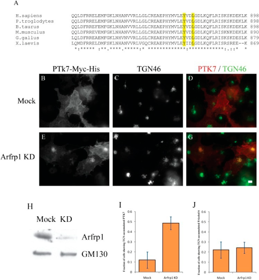 Arfrp1 regulates TGN export of PTK7.(A) Sequence alignment of PTK7 from different species reveals aconserved tyrosine sorting motif in its predicted C-terminal cytosolicdomain. (B)–(G) COS7 cellswere transfected with control siRNA or siRNA against Arfrp1 andre-transfected after 48 hr with plasmids encoding PTK7-Myc-His. After anadditional 24 hr, cells were incubated at 20°C in the presence of 30μg/ml cyclohexmide for 4 hr then shifted to 32°C for 90 min.After incubation, cells were analyzed by immunofluorescence using antibodiesagainst His and TGN46. Size bar = 10 μm. (H) COS7cell lysates from cells transfected with control siRNA or siRNA againstArfrp1 were analyzed by immunoblotting with anti-Arfrp1 antibody and, as aloading control, anti-GM130 antibody. (I) The fraction of cellsshowing TGN-accumulated PTK7 was quantified after incubation at 32°C(mean ± SD; N = 3; over 150 cells were counted for each group).(J) Similar siRNA knockdown and temperature shiftexperiments were performed in COS7 cells transfected with HA-Frizzled 6. Theappearance of TGN-accumulated HA-Frizzled 6 was quantified in cells treatedwith control siRNA or siRNA against Arfrp1 after an incubation at 32°C(mean ± SD; N = 2; over 100 cells were counted for eachgroup).DOI:http://dx.doi.org/10.7554/eLife.00160.015
