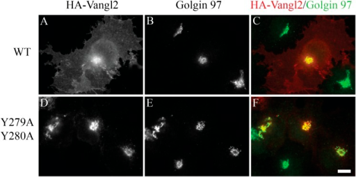 Vangl2 Y279A Y280A is blocked at the TGN.COS7 cells were transfected with HA-Vangl2 wild type(A)–(C) or HA-Vangl2 (Y279A, Y280A)(D)–(F). After transfection for 24hr, cells were analyzed by immunofluorescence using anti-HA andanti-Golgin 97 antibody. Size bar = 10 μm.DOI:http://dx.doi.org/10.7554/eLife.00160.009