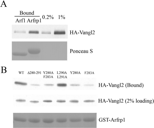 Sorting signal-dependent binding of Arfrp1 to Vangl2 in cell lysates;Vangl2 binds Arfrp1 more efficiently than Arf1.(A) Cell lysates from COS7 cells transiently transfectedwith plasmids encoding HA-Vangl2 were incubated with glutathione beadsbearing similar amounts of GTPγS-loaded GST-Arf1 or GST-Arfrp1.After incubation, the entire sample of bound HA-Vangl2 was detected byimmunoblot. (B) Cell lysates from COS7 cells transientlytransfected with plasmids encoding Vangl2 wild type or the indicatedVangl2 mutant constructs were incubated with glutathione beads bearingsimilar amount of GTPγS-loaded Arfrp1. The entire sample of boundHA-Vangl2 was evaluated by immunoblot.DOI:http://dx.doi.org/10.7554/eLife.00160.013