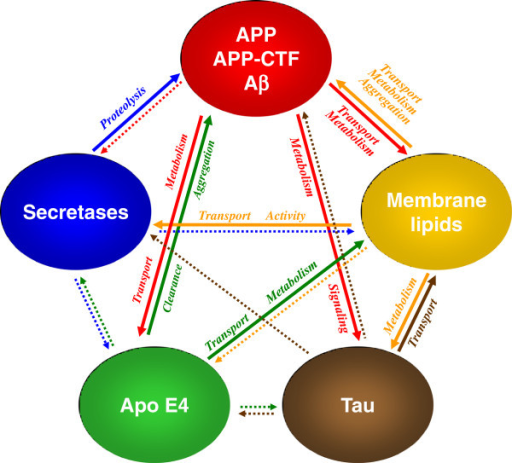 Cross-talk of membrane lipids and Alzheimer-associated proteins. Alterations in membrane lipid composition affect secretase activities, thereby modulating APP processing and generation of Aβ. Alternatively, membrane lipids can directly interact with Aβ and modulate its aggregation. In addition, membrane lipids impair the metabolism of tau. Thus, both neuropathological hallmarks of AD could be triggered by age-dependent changes in lipid metabolism. Conversely, membrane lipid composition is affected by APP and its derivatives Aβ and CTFβ, which were shown to modulate lipid metabolic enzymes and directly bind membrane lipids including cholesterol and gangliosides. Tau also affects membrane lipid composition, likely via regulation of vesicular transport. ApoE as a major lipoprotein in the brain could also affect lipid composition, but also Aβ clearance and aggregation. Solid arrows indicate a direct interaction of the respective components whereas dotted arrows indicate potential modulations by yet undefined mechanisms. See text for further details.