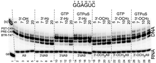 Figure 5. A natural 3′-OH RNA more stably maintains the post-translocation register of RNAP than 3′-H2 and 3′-OCH3 3′ ends, demonstrating the specificity of the exo III mapping assay for the RNAP TEC. GTPαS appears to stabilize the forward translocation state of the TEC slightly more strongly than GTP. GTP and GTPαS were added at 400 μM. The assay was at 40 mM KCl and pH 7.9.
