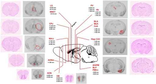 Schematic representation of the brain regions of interest analyzed in the study. Representative sections of autoradiographic labeling of OXTR with [125I]-OVTA 20 pM are displayed in grayscale, flanked by corresponding Nissl stained sections. Red contours outline the regions of interest analyzed. A sagittal schematic representation of a mouse brain is reported in the central panel. Lines indicate the antero-posterior localization of the coronal sections taken into account, defined by the reported distances (millimeter) from bregma (according to the Franklin and Paxinos (41) mouse brain atlas). AHiPM, amygdalohippocampal area, posteromedial part; AON, anterior olfactory nucleus; AONm, anterior olfactory nucleus, medial part; BLA, basolateral amygdaloid nucleus, anterior part; BLP, basolateral amygdaloid nucleus, posterior part; BNST, bed nucleus of the stria terminalis; CeA, central amygdaloid nucleus; CPu, caudate–putamen; Hb, habenular nucleus; Hipp CA3, hippocampus, field CA3; LS, lateral septum; MeA, medial amygdaloid nucleus; NAcc, nucleus accumbens; OB, olfactory bulb; PMCo, posteromedial cortical amygdaloid area.