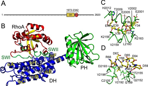 Structure of AKAP-Lbc(A) Protein domains of AKAP-Lbc (AKAP13). The range of the construct used for structure determination is shown above the DH and PH domains. (B) Overview of the complex between RhoA–GDP and the DH–PH domains of AKAP-Lbc. RhoA is shown with red α-helices and yellow β-strands, and with the switch I and switch II loops in green. AKAP-Lbc is shown with its DH domain in blue and PH domain in green. (C) The binding of the RhoA switch I loop. The switch I loop is shown in yellow, with the AKAP-Lbc DH domain shown in green. (D) The binding of the RhoA switch II loop, coloured as for (C).