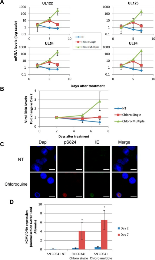 HCMV can be forced out of latency in CD34+ cells by pharmacological manipulation.After 5 days of infection with TB40-E, CD34+ cells were treated or not (mock) with chloroquine in single or multiple doses as indicated. Indicated HCMV transcripts were quantified by RT-qPCR, using GAPDH and β-2 Microglobulin for normalization (A). HCMV DNA associated with the TB40-E-infected HSC was quantified by qPCR, normalizing with the GAPDH and albumin genes (B). Data are presented as average of three different experiments performed with cells from independent donors. (C) Immuno-fluorescent staining was performed on CD34+ cells for pS824KAP1 (pS824), HCMV IE1-2 (IE), or total KAP1 (KAP1), using Dapi for DNA. White scale bar, 10 µm. All pictures are representative of three independent experiments. (D) Supernatant from the TB40-E-infected CD34+ cells, harvested after 7 days of treatment, was used to infect MRC-5 fibroblasts, which were assessed for their viral DNA content 2 and 7 days later by qPCR. Results are presented as HCMV DNA level normalized for GAPDH and Albumin. Histogram represents an average of three different experiments performed with HSC from three independent donors (n = 3, *p < 0.05, error bars as s.d.).DOI:http://dx.doi.org/10.7554/eLife.06068.018