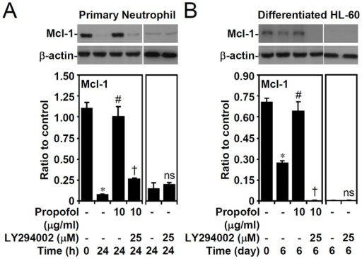 PI3-kinase-dependent propofol treatment abolishes Mcl-1 down-regulation in primary neutrophils and ATRA-differentiated granulocytic HL60 cells.(A) Isolated human primary neutrophils and (B) ATRA (1 μM)-differentiated granulocytic HL60 cells were treated with propofol with or without LY294002 treatment for the indicated time points. Western blot analysis showing the expression of Mcl-1; β-actin was used as the loading control. One representative dataset obtained from three individual experiments is shown. The changes in the ratio of Mcl-1 and β-actin are also shown. The data are shown as the means ± SD of three individual experiments. *P < 0.05 compared with untreated at 0 h. #P < 0.05 compared with untreated at 24 h or day 6. †P < 0.05 compared with propofol. ns, not significant compared with untreated at 24 h or day 6.