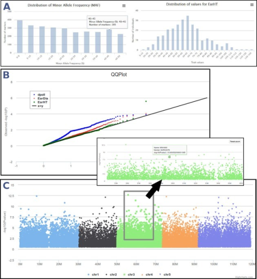 GWAS analyses in SNiPlay. (A) Data control: first step controls data concordance and outputs some statistics about genotypic (MAF distribution) and phenotypic (phenotypic values distribution) datasets. (B) QQ plot shows the expected distribution of association test statistics (X-axis) compared to the observed values (Y-axis). (C) Result interface displays an interactive Manhattan plot color-coded by chromosome that represents the association P-values between markers and the trait being measured. It supports zooming, which can be achieved by a 'click, hold and drag mouse' action on the region of interest.